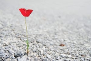lonely-poppy-photo-de-pupkis